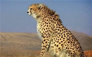 تصویب سند حفاظت از گربهسانان همبوم یوز