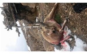 متخلف ترین شکارچی مناطق حفاظت شده  قمصر و برزک در دام قانون افتاد