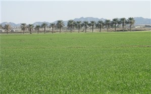 پیشبینی رشد 20 درصدی کشت گندم در ایرانشهر