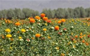 کشت ١۴٠ هکتار دانه روغنی گلرنگ در شهرستان خاش