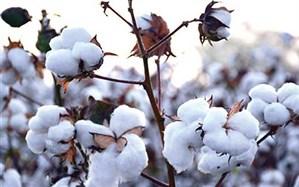 خسارت سرمای پاییزی به کشتزارهای پنبه نیشابور