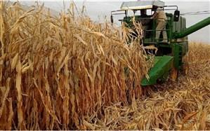 افزایش ۱۱ درصدی تولید ذرت دانهای و سیلویی در سال جاری