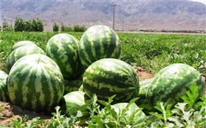 برداشت ۱۵۰ هزار تن هندوانه برای شب یلدا