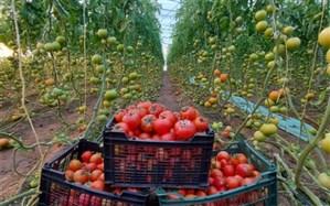 صادرات ٣٠٠ تن گوجهفرنگی تولیدی میرجاوه به خارج از کشور