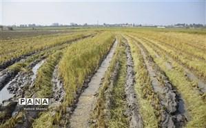 افزایش 65 درصدی توزیع بذر گندم آبی در شهرستان شیراز  نسبت به سال زراعی گذشته