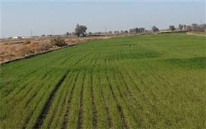 بیش از ۶٧ هزار هکتار گندم در سیستان وبلوچستان کشت شد