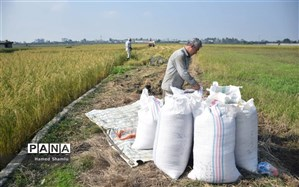 خیز ملایم قیمت برنج در مازندران بعد از رکود پاییزی