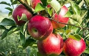 امارات متحده عربی،  چهارمین بازار هدف برای صادرات سیب درختی ایران