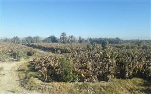 500 هکتار باغات موز در کنارک  به دلیل سرمای شدید نابود شد