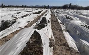 خسارت کشاورزان سیستان و بلوچستانی از سرما به بیش از 85 میلیارد تومان رسید