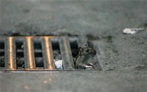 بلایی که سروصدای بازار و مترو، بر سر موشها میآورد