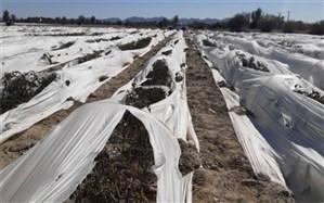 سرمازدگی به بیش از 16 هزار هکتار اراضی کشاورزی سیستان و بلوچستان خسارت زد