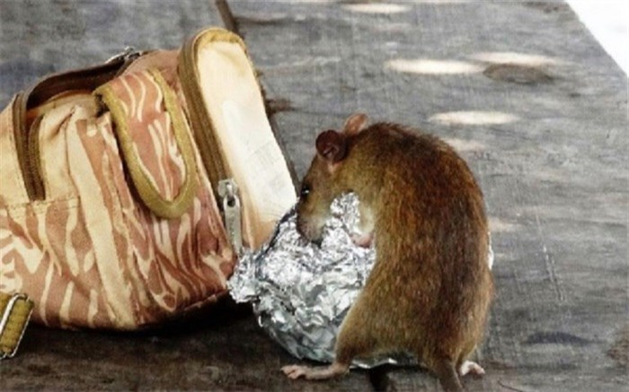 هوس موش برای خوردن نوزاد ۱۸ ماهه!