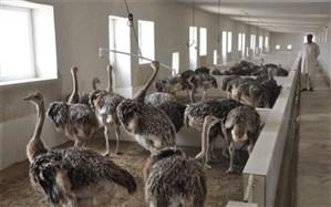 سالانه 200 تن گوشت شتر مرغ در سیستان و بلوچستان تولید میشود