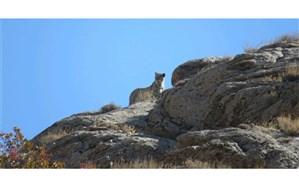 ثبت تصاویری نادر از یک خانواده 4 قلاده ای پلنگ ایرانی در پارک ملی دنا + فیلم