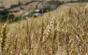 یک میلیون و 100 هزار تن گندم تضمینی خریداری شد