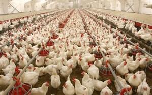 ۶۰۰ مرغدارمتخلف شناسایی شدند