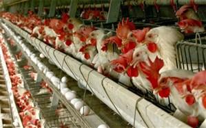 خاش رتبه نخست تولید گوشت مرغ در سیستان و بلوچستان را دارد