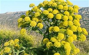 در مورد گیاه آنقوزه و خواص آن چه میدانید؟