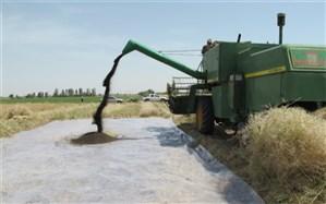 امسال بیش از ٣ هزار تن دانه روغنی کلزا در سیستان و بلوچستان برداشت میشود