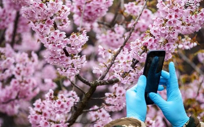 شکوفه های بهاری همراه با ماسک