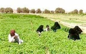 سالانه بیش از 10 هزار تن انواع سبزیجات از مزارع خاش برداشت میشود