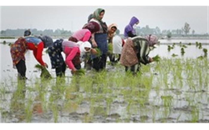 کشت برنج  خارج از تقویم زراعی در گیلان انجام نشود