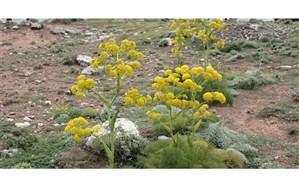 کشت گیاهان دارویی در حال انقراض در هنرستان کشاورزی یاسوج
