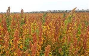 برداشت کینوا از مزارع بمپور سیستان و بلوچستان آغاز شد