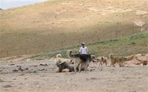 ساماندهی سگهای ولگرد در زیستگاه گونه در معرض انقراض «میشمرغ»