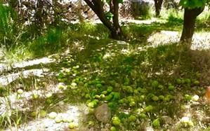 بارندگی ١۵٠ میلیارد ریال به باغات زردآلوی تفتان خسارت زد