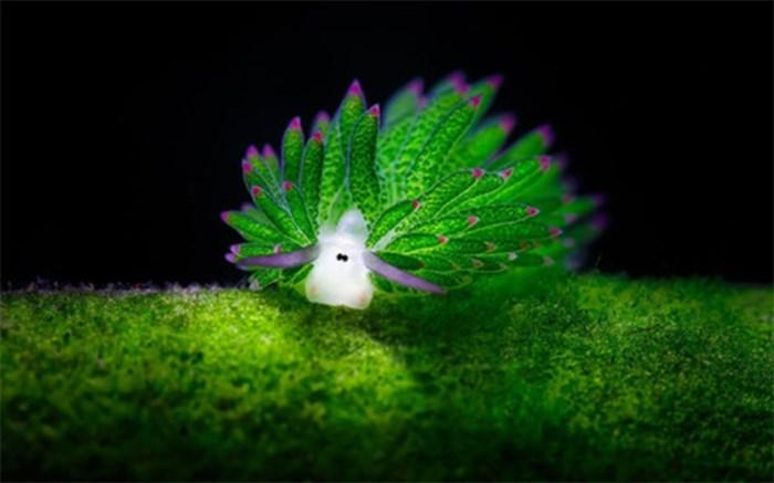 گوسفند دریایی زیباترین موجود در زیر آب