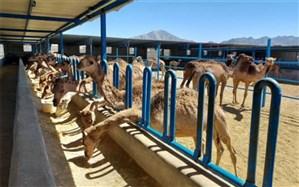 بزرگترین واحد پرورش شتر شیری کشور در زاهدان مشغول فعالیت است