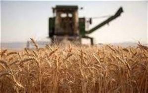 بیش از ۲۱ هزار تن گندم از کشاورزان سیستان و بلوچستان خریداری شد