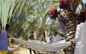 برداشت خرما از نخلستانهای سیستان و بلوچستان آغاز شد