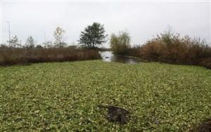 گونه مهاجم سنبل آبی در تالاب انزلی کنترل می شود