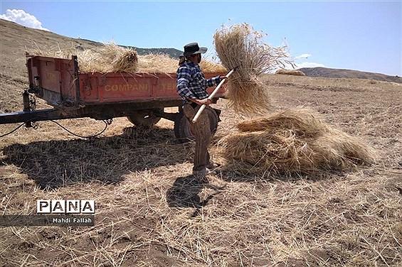 برداشت محصولات کشاورزی در روستای تنباکلوق  از توابع شهرستان هوراند