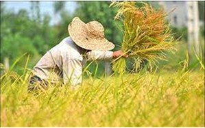 موفقیت شالیکار گلوگاهی برای کاشت رقم جدیدی از برنج /فیلم