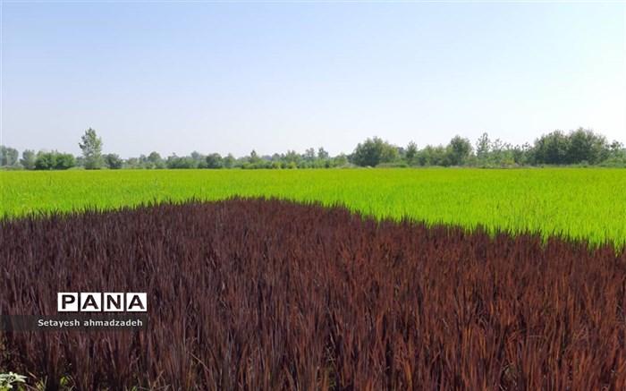 شالیکار گلوگاهی موفق به کشت و تکثیر رقم خاصی از برنج شد