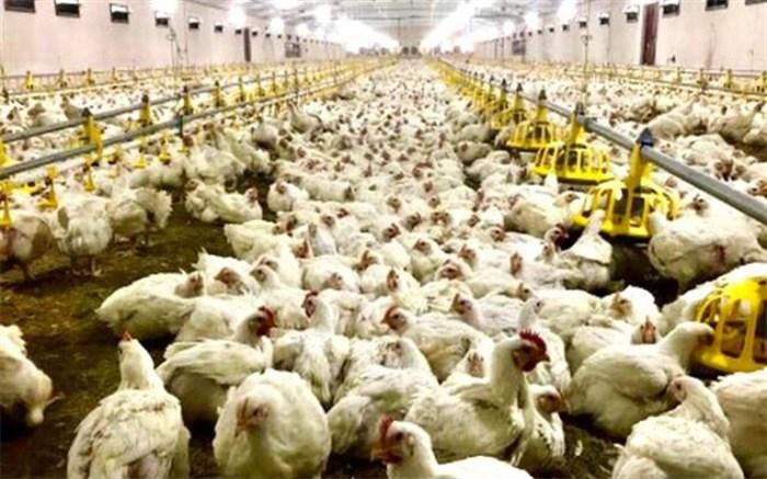بیش از 10 هزار تن گوشت مرغ در سیستان و بلوچستان تولید شد