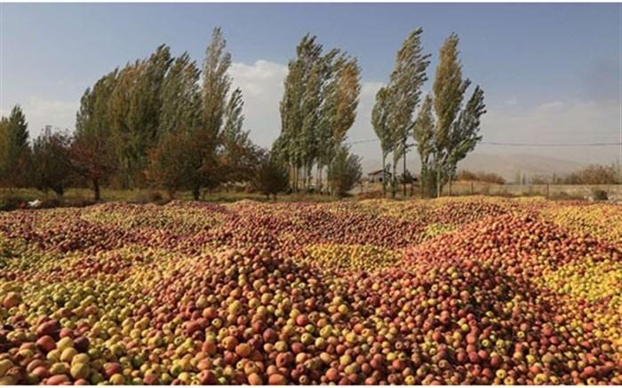 آغاز خرید ۱۰ هزار تن سیب صنعتی مراغه برای فرآوری