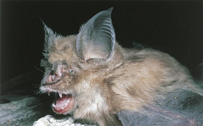 خفاش ها عامل تولید کرونا نبودند و نیستند