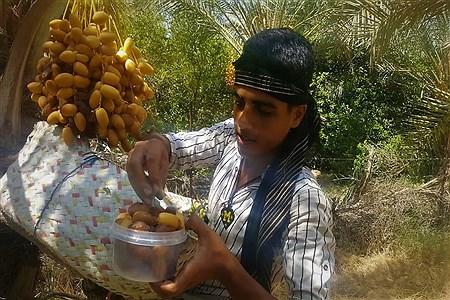 برداشت چهل تن  رُطَب و خرما، در  مهد نخلستان فارس | S.A.Hashemi