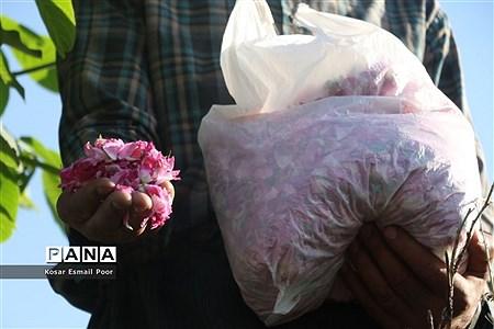 برداشت گل محمدی در روستای عنصرود اسکو  
