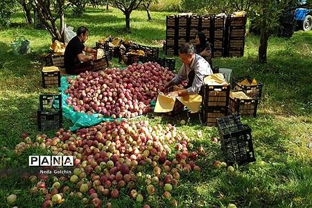 برداشت سیب در شهر ونایی بروجرد |