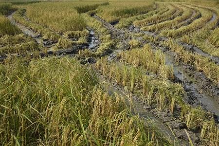 کشت برنج | Hamed Shamlu