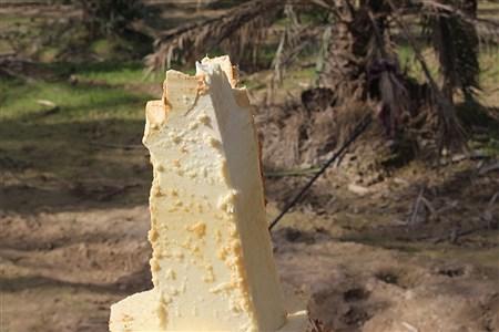 پنیر درخت خرما | Amir Sadeghi